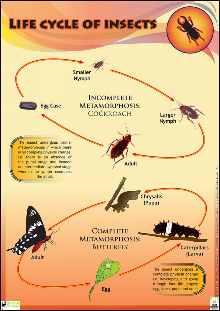 Life Cycle of Insects by LycodonFX